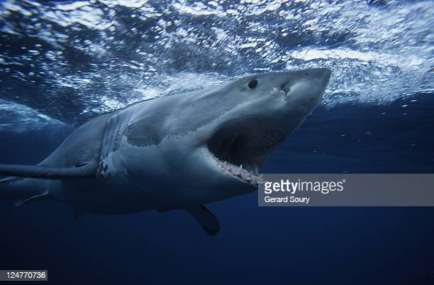 great white shark,carcharodon carcharias, swimming, south australia - shark attack - fotografias e filmes do acervo