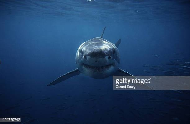great white shark,carcharodon carcharias, swimming,south australia - sharks stock pictures, royalty-free photos & images