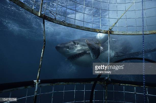 great white shark,carcharodon carcharias,eating bait,gaansbai, s. africa - cage stock pictures, royalty-free photos & images
