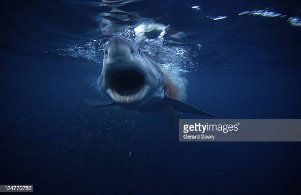 great white shark,carcharodon carcharias,swallowing bait,south australia - 不吉 ストックフォトと画像