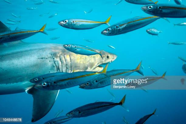 Great White Sharks in Isla Guadalupe