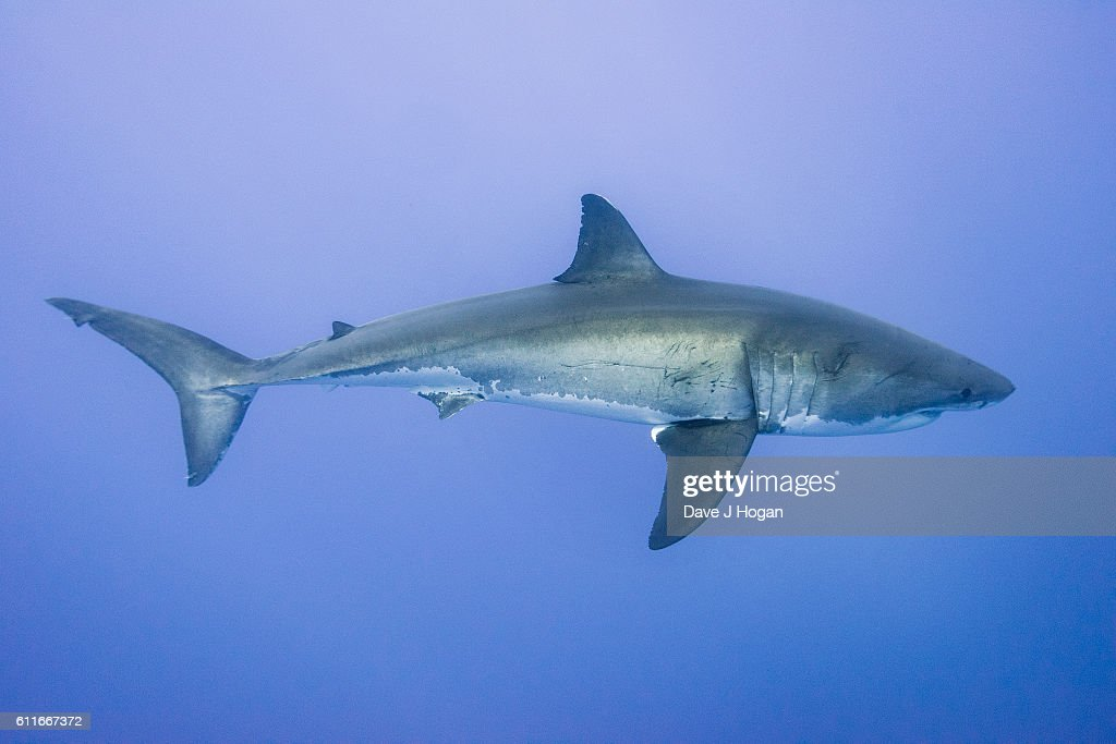 diving great white sharks in photos and images getty  great white sharks seasonally gather off the coast of guadalupe island divers dive inside cages