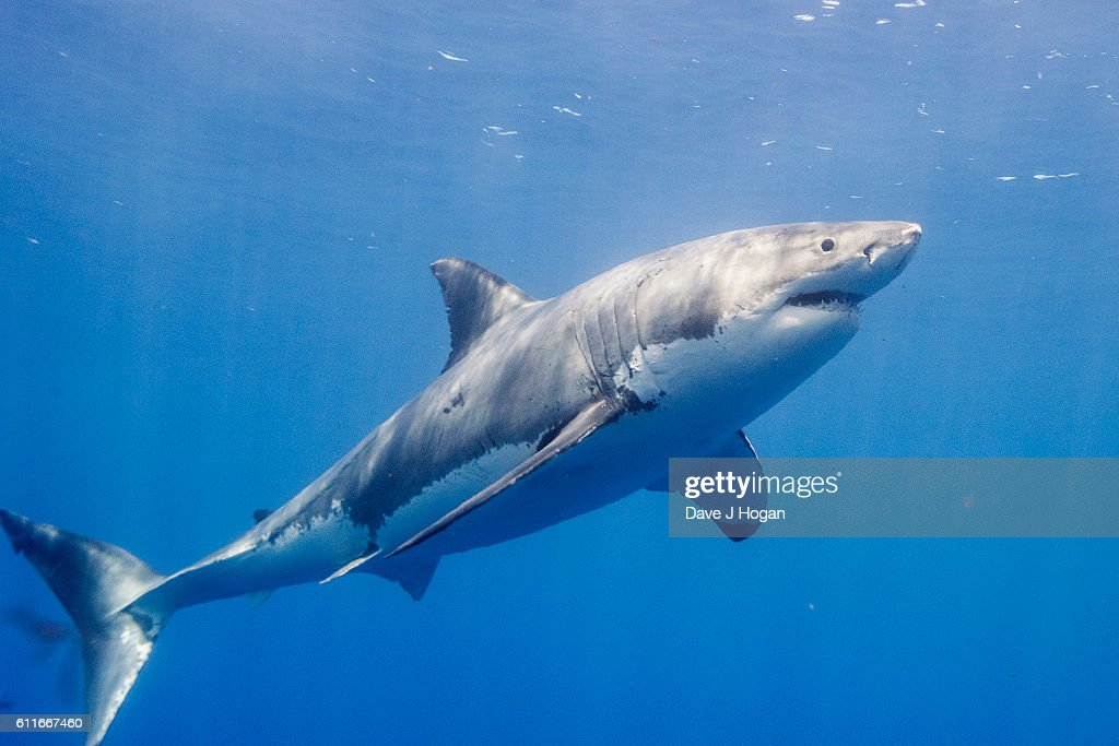 Diving with Great White Sharks in Mexico : News Photo