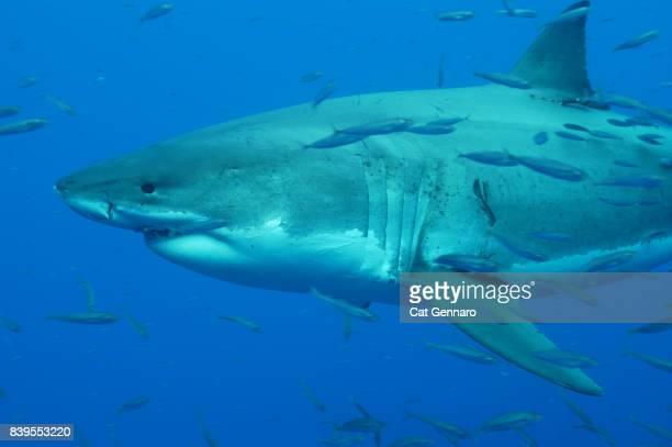 Great White Swims through Bait fish