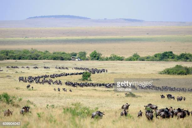 great wildebeest migration in kenya with safari vehicle - animal migration stock pictures, royalty-free photos & images