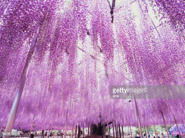 great wisteria tree - glycine photos et images de collection