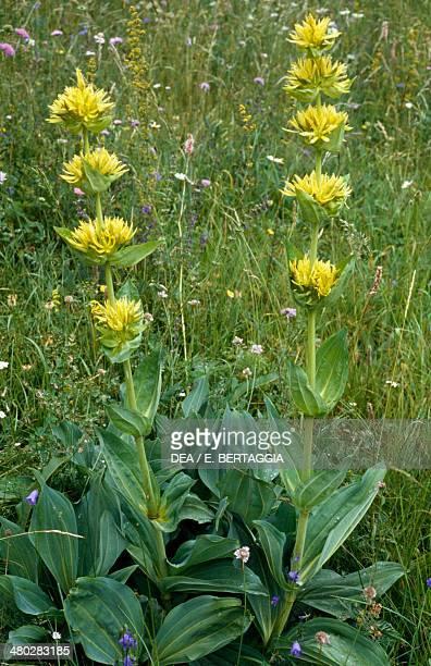 Great yellow gentian or Yellow Gentian Gentianaceae