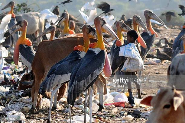 Greater adjutant storks look on as a young Indian rag picker stand in a garbage landfill at Boragoan in Guwahati on November 21 2012...