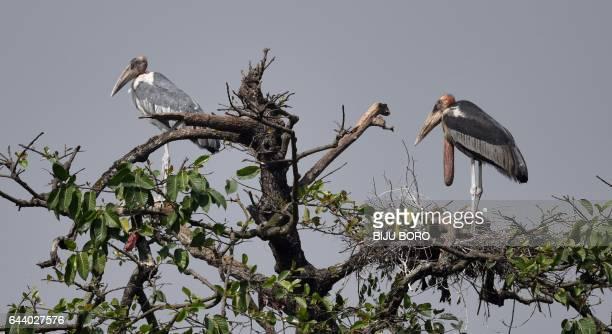 Greater Adjutant Storks sit near their nest on the top of a tree in Dadara village on the outskirts of Guwahati the capital city of India's...