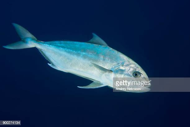 Greater amberjack or Allied kingfish (Seriola dumerili) on blue background, Sharm El Sheikh, Sinai Peninsula, Red Sea, Egypt