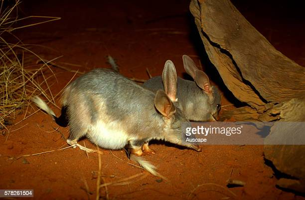 Greater bilby Macrotis lagotis pregnant female with young alongside Simpson Desert Queensland Australia