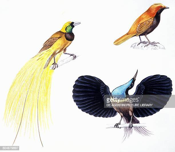 Greater BirdofParadise Crested BirdofParadise and Magnificent Riflebird Paradisaeidae drawing