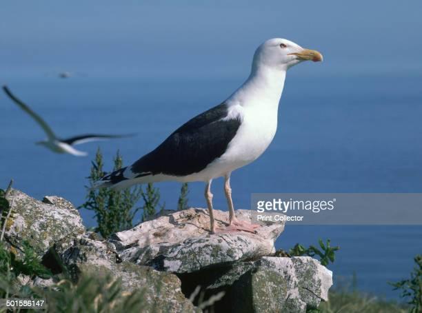 Greater black back gull