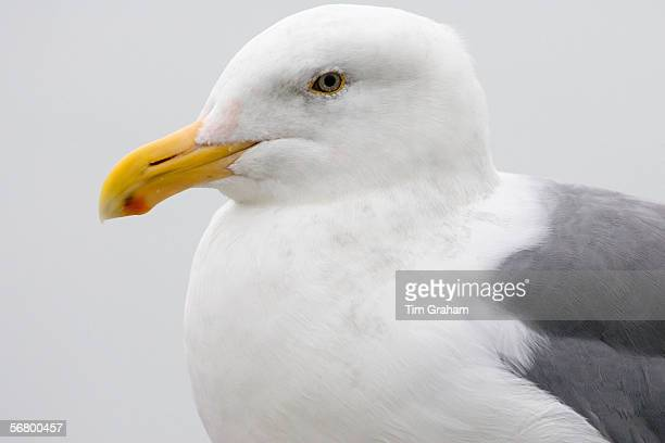 Greater BlackBacked Gull by San Francisco bay California United States of America