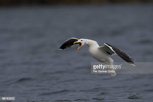 Greater Black-backed Gull (Larus marinus), Flatanger, Norway