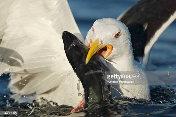 Greater black-backed gull gulping a fish