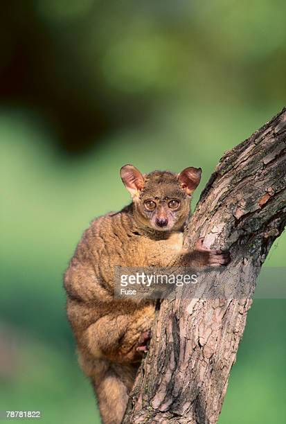 greater bush baby in tree - bush baby stock photos and pictures
