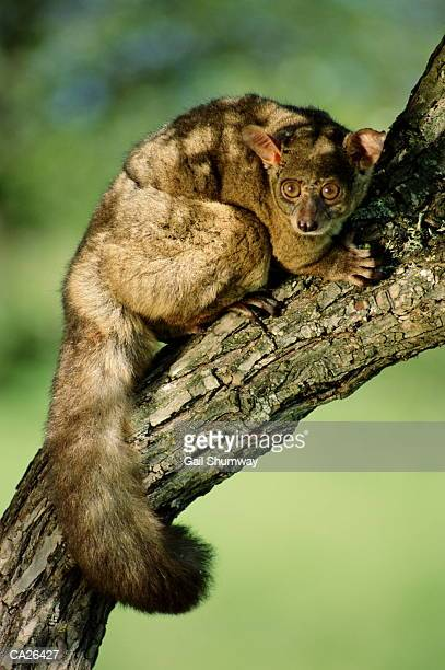 greater bush baby (galago crassicaudatus) on branch - bush baby stock photos and pictures