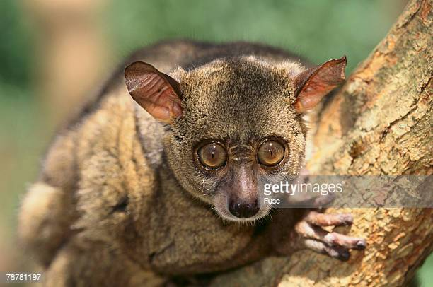 greater bush baby - bush baby stock photos and pictures