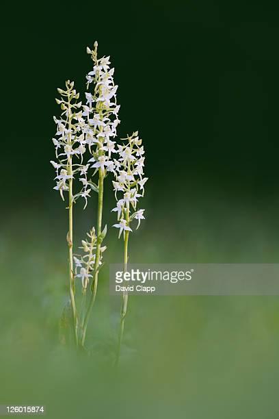 Greater butterfly orchid (Platanthera chlorantha), Devon, UK