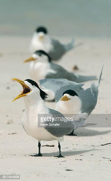 Greater Crested Tern (Thalasseus bergii), Rottnest island, Perth area, Western Australia