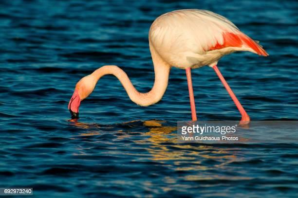 greater flamingo, camargue, france - サントマリードラメール ストックフォトと画像