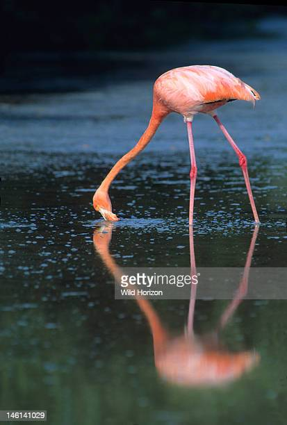 Greater flamingo feeding in the wild Phoenicopterus ruber Shallow lagoon at Punta Cormorant Isla Floreana Galapagos Islands Ecuador