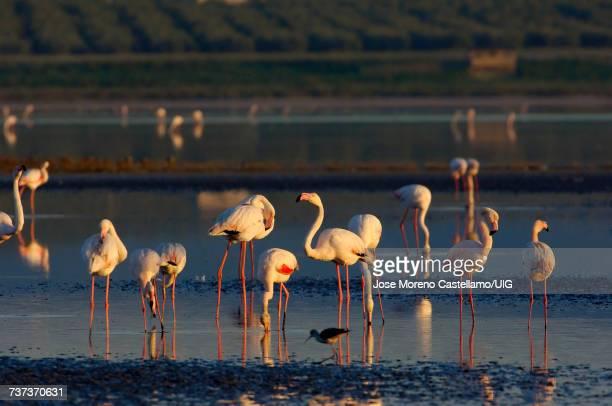 Greater Flamingo, Fuente de Piedra Lagoon, Mlaga province, Andalusia, Spain