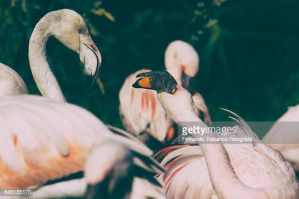 Greater Flamingo (Phoenicopterus ruber) group