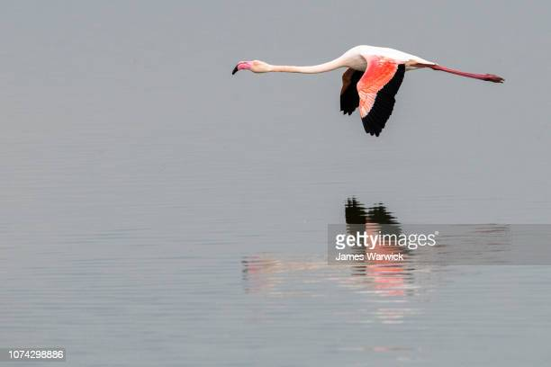 greater flamingo in flight - greater flamingo stock photos and pictures