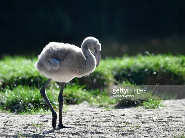 greater flamingo (phoenicopterus roseus), juvenile, chick, four weeks old, captive - day old chicks stock photos and pictures