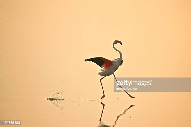 greater flamingo (phoenicopterus roseus) moving gracefully on water, oristano, sardinia - flamingo stock pictures, royalty-free photos & images
