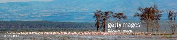 Greater flamingo Phoenicopterus roseus Lake Nakuru Nakuru Great Rift Valley Kenya