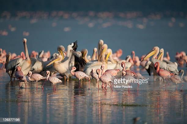 greater flamingo, phoenicopterus ruber, and great white pelican, pelecanus oncrotalus, lake nakuru, kenya, africa - pelican stock pictures, royalty-free photos & images