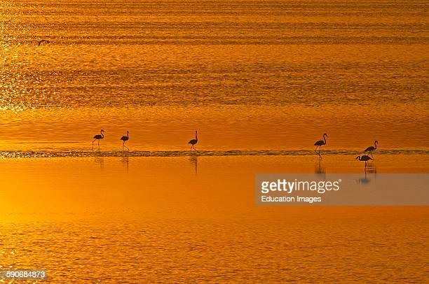 Greater Flamingo Phoenicopterus ruber Fuente de Piedra Lagoon at Sunset Málaga province Andalusia Spain