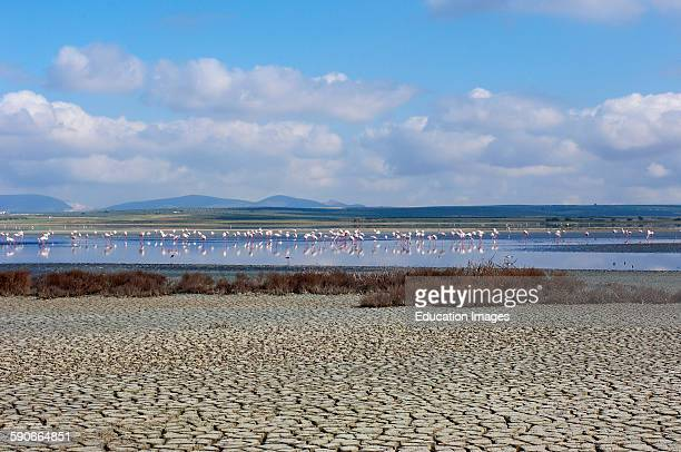Greater Flamingo Phoenicopterus ruber Fuente de Piedra Lagoon Málaga province Andalusia Spain