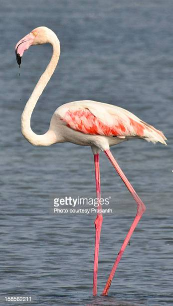 greater flamingo (phoenicopterus roseus) - one animal stock pictures, royalty-free photos & images