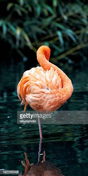 greater flamingo - greater flamingo stock photos and pictures
