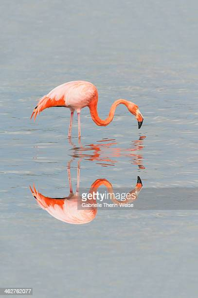 greater flamingo - one animal stock pictures, royalty-free photos & images