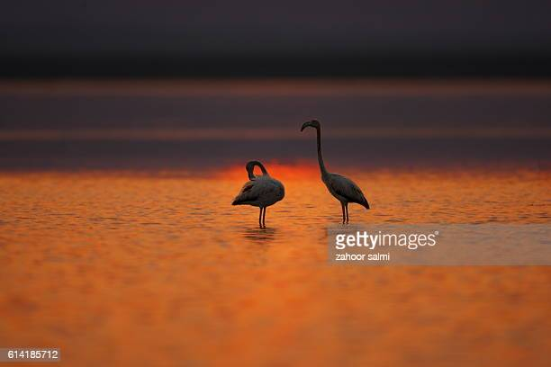 greater flamingo - markhor stock photos and pictures