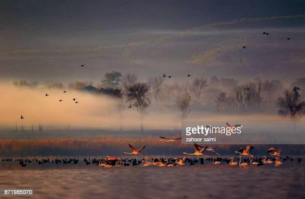 greater flamingo - punjabe - fotografias e filmes do acervo