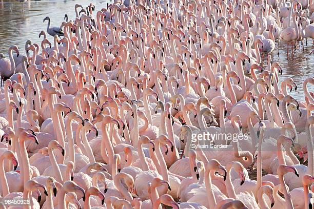 greater flamingo - サントマリードラメール ストックフォトと画像