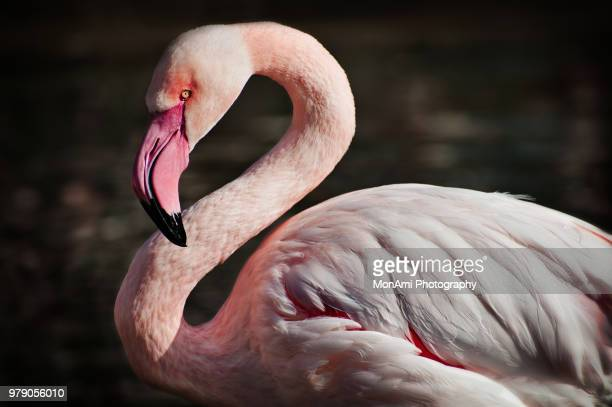 greater flamingo - flamingo heart stock pictures, royalty-free photos & images