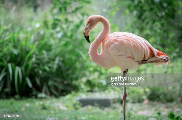 greater flamingo - flamant rose photos et images de collection
