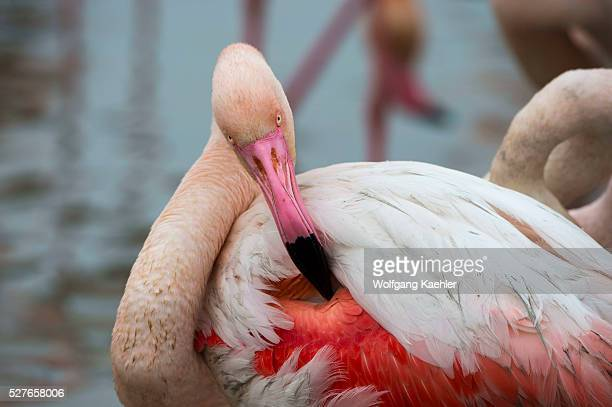 Greater flamingo preening the feathers at the Bird Park Pont de Grau a UNESCO designated biosphere reserve near Saintes Marie de la Mer in the...