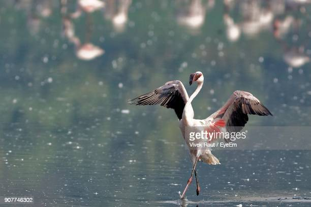 Greater Flamingo Running In Water
