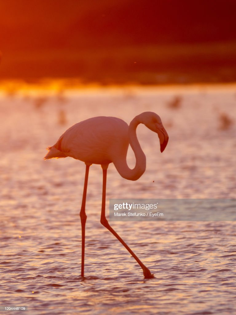 Greater Flamingo Silhoutte In Camargue At Dusk : Stock Photo