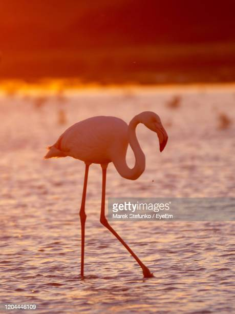 greater flamingo silhoutte in camargue at dusk - marek stefunko stock pictures, royalty-free photos & images