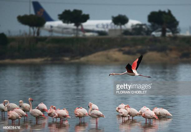 A greater flamingo takes off from a salt lake near the International airport in the Cypriot southeastern port city of Larnaca on December 17 2014 AFP...