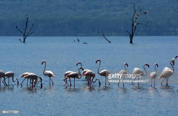 greater flamingoes (phoenicopterus roseus) - lake nakuru - fotografias e filmes do acervo